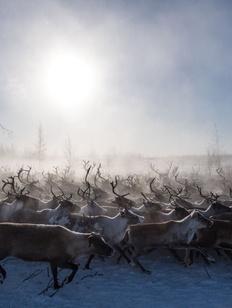В Якутии увеличат поголовье северных домашних оленей