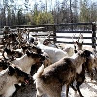 """В Туве запустят проект """"Утварь для оленеводческой семьи"""""""