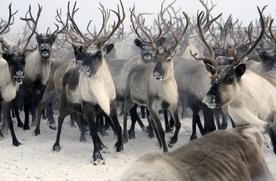 Законопроект о поддержке оленеводства внесли в Госдуму