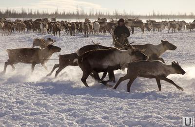 Глава НАО поторопил чиновников с оформлением субсидий оленеводам
