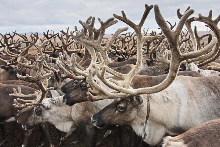 На Ямале из-за падения оленей под лед эвакуируют оленеводов