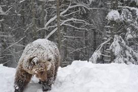 В Югре четырех оленеводов судят за отстрел медведя-шатуна