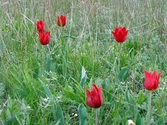 В Калмыкии пройдет праздник тюльпанов