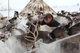 Ямальских оленеводов обвинили в срыве вакцинации оленей от сибирской язвы