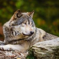 Крылатая волчица