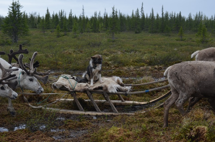 Ненецким тундровикам в честь Дня оленя доставят  подарки
