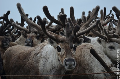 Якутские пожары могли привести к гибели сотен северных оленей на Таймыре