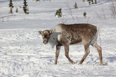 На Ямале попросили ввести режим ЧС из-за падежа оленей