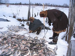 Коренным народам трех регионов запретили ловить муксуна