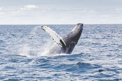 В правительстве одобрили законопроект о запрете промышленной ловли китов