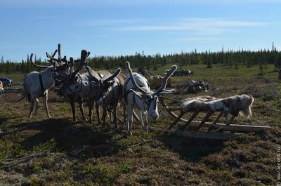 Забайкальским оленеводам и общинам коренных народов подарили кочевое жилье