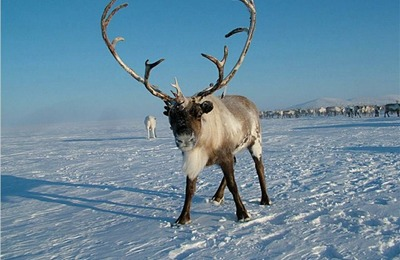 Мурманских диких северных оленей внесли в Красную книгу России