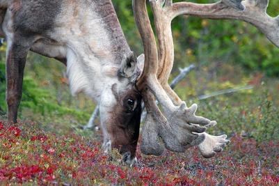 Россия и Канада будут совместно изучать оленеводство и дикоросы