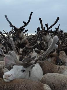 В Красноярском крае на пять лет запретили добычу пантов дикого оленя