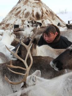 На Ямале тундровых оленей пытаются переселить в тайгу