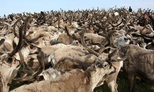 Ямальские депутаты решили чипировать оленей