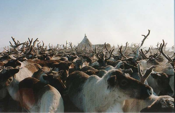 На Ямале за зиму погибло около ста тысяч оленей