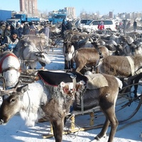 Жители Салехарда сочинят слоганы ко Дню оленевода