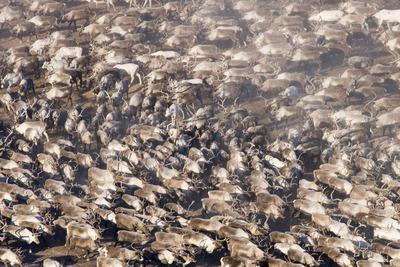 На Ямале впервые после эпидемии пересчитали северных оленей