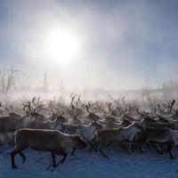 Съезд оленеводов НАО соберется в марте