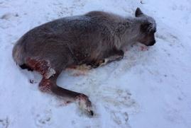 Коренные народы Югры обвинили нефтяников в убийстве оленей