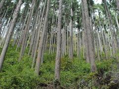 Алтайскую тайгу попросили сохранить от вырубки ради тубаларов