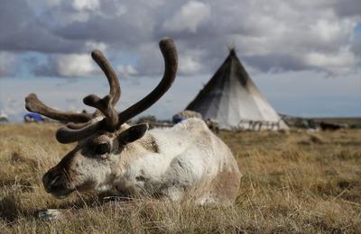 Карту мест гибели оленей от сибирской язвы создадут на Ямале