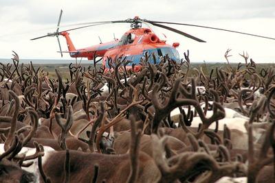 В Ненецком АО рядом с нефтепроводом от отравления погибли 150 оленей