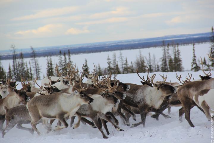 Ученые Ямала исследует навредившую оленям ледяную корку на снегу