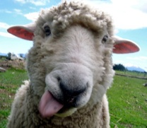 Жителям Улан-Удэ напомнили правила стрижи овец