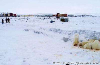 Медведи начали покидать национальное чукотское село