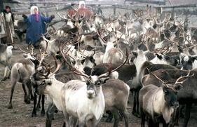 На поддержку якутских оленеводов выделят 700 млн рублей