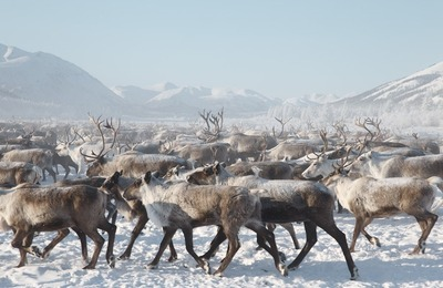 Оленеводов-механизаторов впервые начнут готовить в Ненецком округе