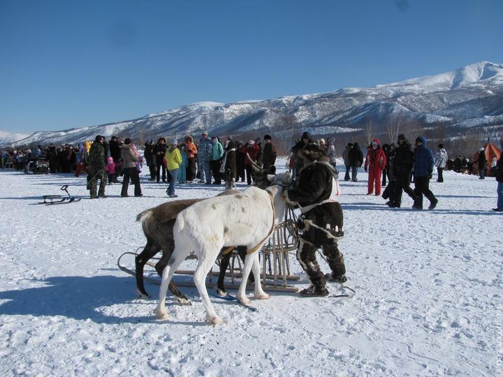 Ошейники для отслеживания передвижений оленей появились на Камчатке