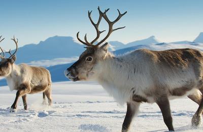 В Красноярском крае сократят сроки охоты на северных оленей