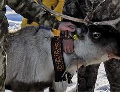 Ямальские тундровики начали устанавливать маркеры-бирки на своих оленях