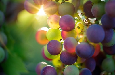Болгарский праздник виноградарей отметят в Симферополе