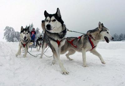В Карелии создали оргкомитет для предстоящих в январе гонок на собачьих упряжках