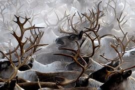 Для жителей Крайнего Севера создали суфле из печени оленя и снеки-антистресс