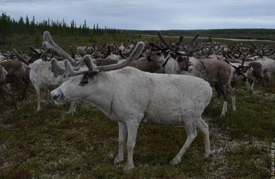 Ученые сообщили об угрозе исчезновения северных оленей