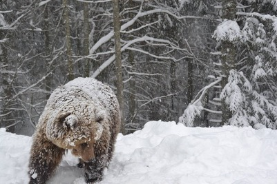 На Чукотке морские охотники страдают от медведей