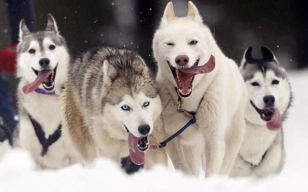 """Каюр сошёл с гонки на упряжках """"Берингия"""" из жалости к собакам"""