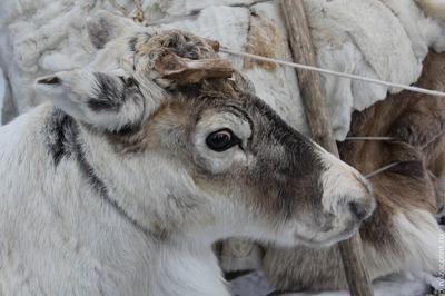 Ямальские кочевники стали следить за оленями с квадрокоптеров [ВИДЕО]