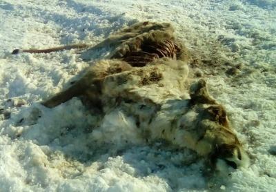 Ямальский оленевод обратился к министру природы из-за падежа оленей