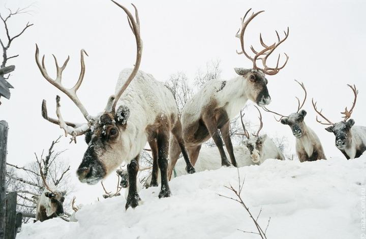 Саамы предложат ввести мораторий на добычу дикого северного оленя