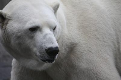 Белые медведи окружили национальное чукотское село