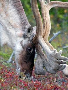 Ученые: Северные олени смягчат последствия глобального потепления