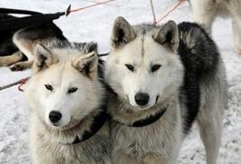Полицейским Чукотки будут помогать отряды каюров на собачьих упряжках