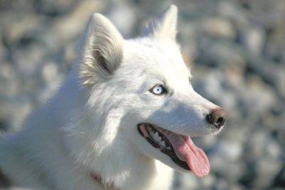В Якутии планируют возродить популяцию якутской охотничьей лайки