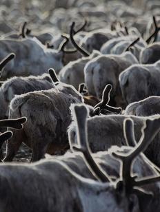 Домашних оленей на Таймыре будут контролировать через ГЛОНАСС